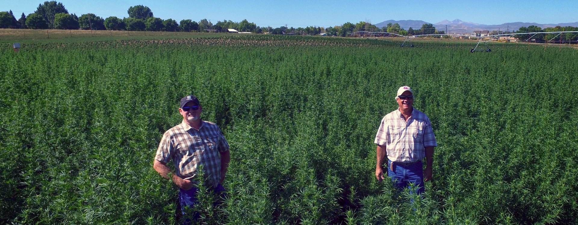 Owners in hemp farm grow field